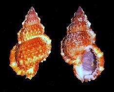 Image of granular frog shell