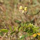 Image of septicweed