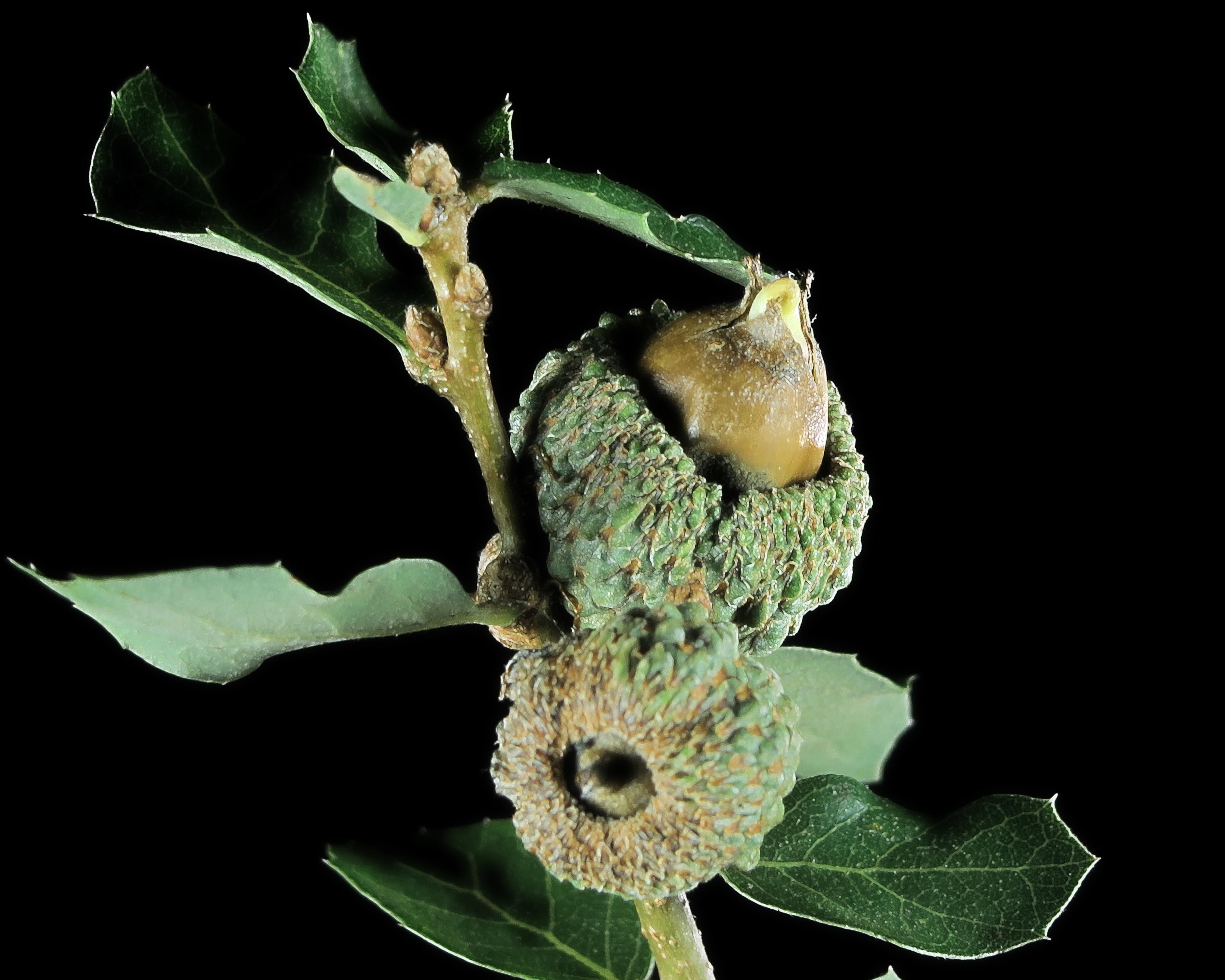 Image of Channel Island Scrub Oak