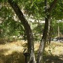 Image of Arizona walnut