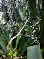 Image of Bromeliad