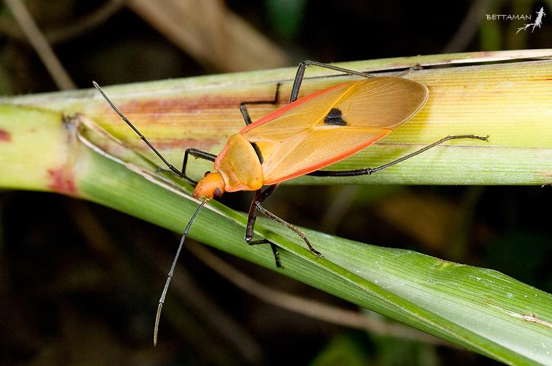 Image of <i>Dysdercus fuscomaculatus</i>