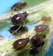 Image of Cowpea aphid