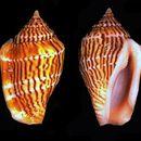 Image of <i>Strombus mutabilis</i>