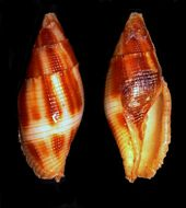 Image of <i>Mitra imperialis</i>