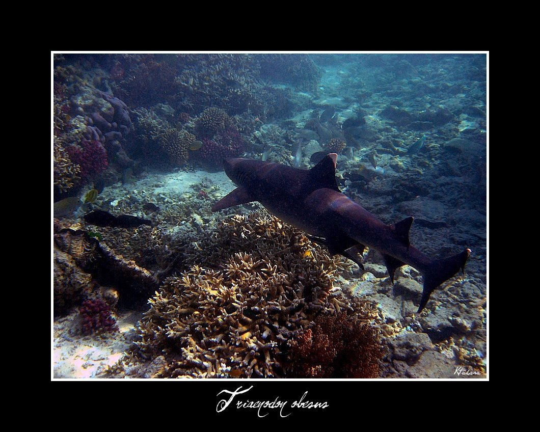 Image of White Tipped Reef Shark