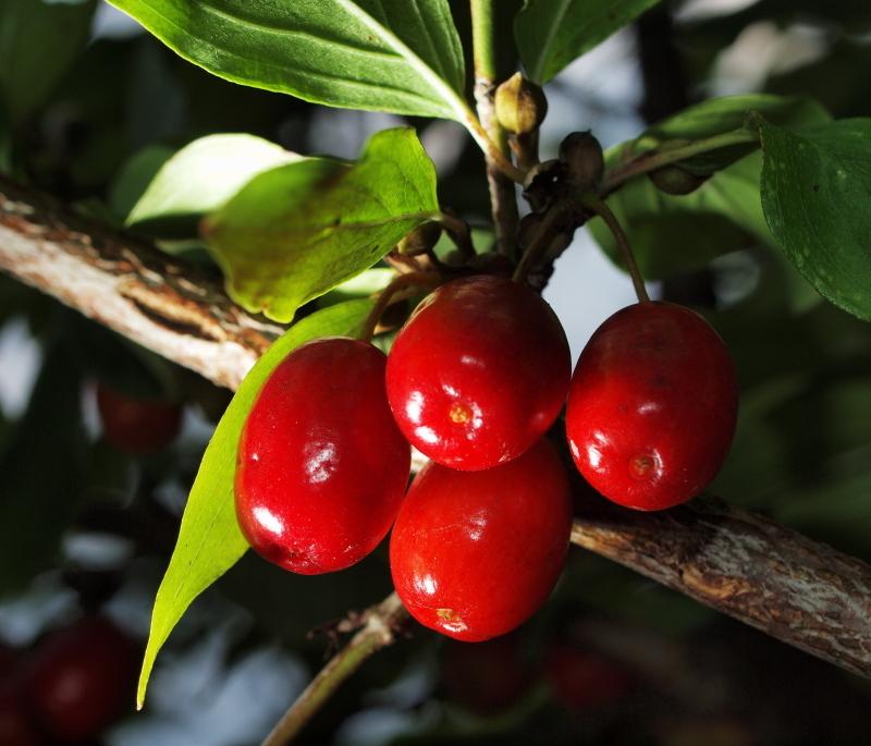 Image of Cornelian cherry dogwood