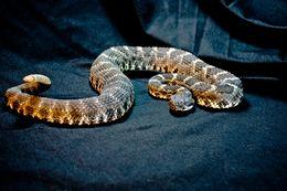 Image of Arizona Black Rattlesnake