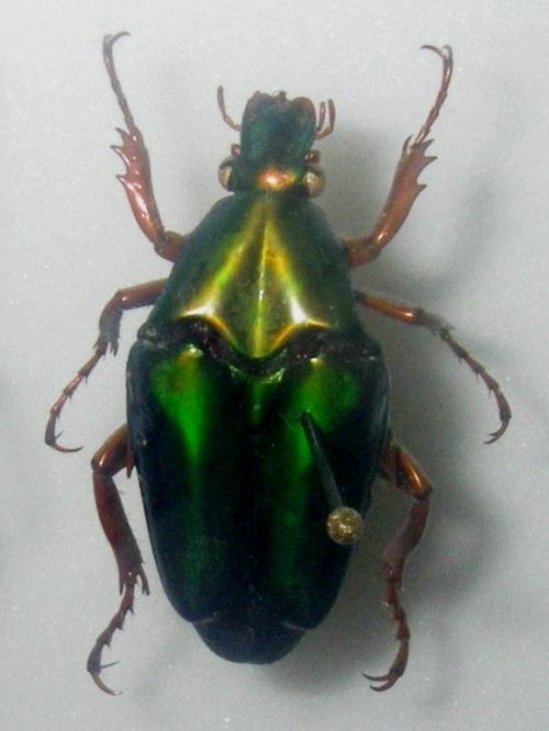 Image of <i>Chalcothea smaragdina</i> (Gory & Percheron 1833)
