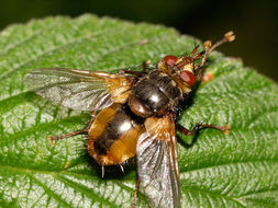 Image of <i>Tachina fera</i> (Linnaeus 1761)