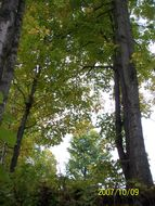 Image of sugar maple