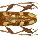 Image of <i>Thoris quinqueguttata</i> Gressitt 1959