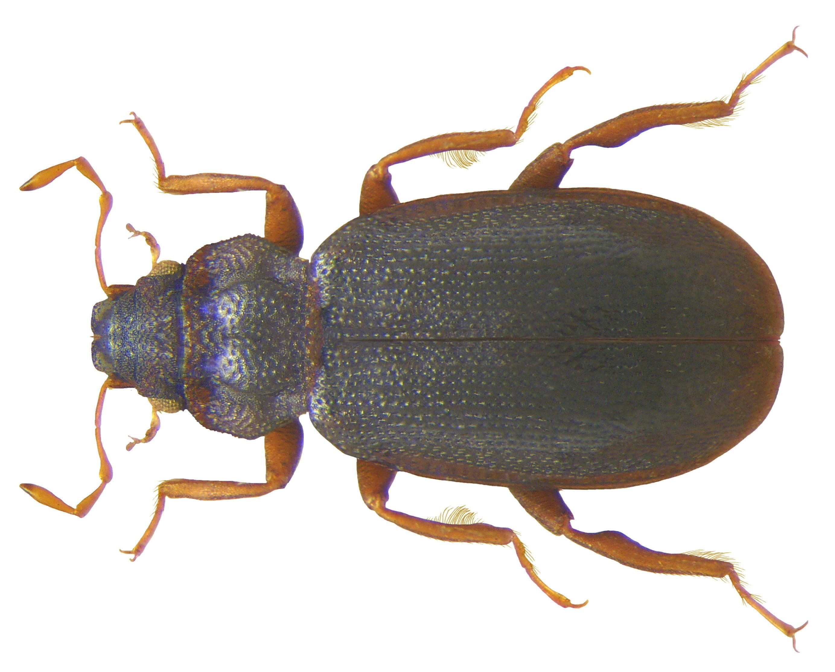 Image of <i>Hydraena armata</i>