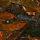 Image of Chactidae