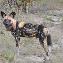 Image of African Wild Dog