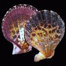 Image of <i>Chlamys lentiginosa</i>