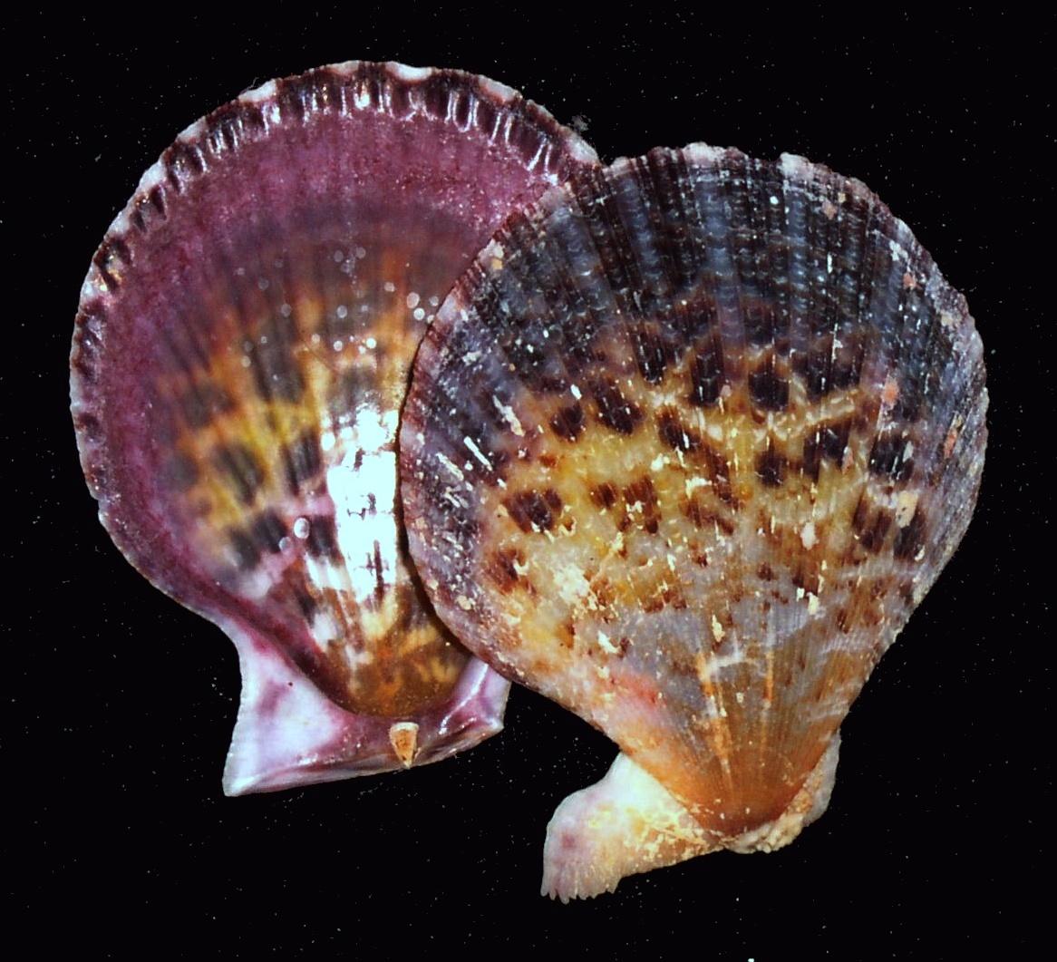 Слика од <i>Chlamys lentiginosa</i>