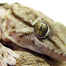 Image of Egyptian gecko