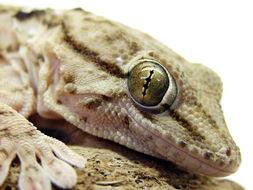 Image of Egyptian gecko