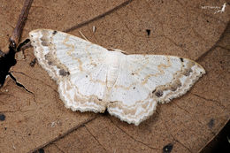 Image of <i>Scopula propinquaria</i> Leech 1897