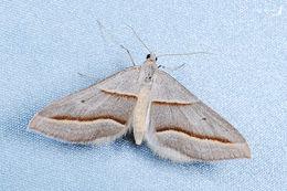 Image of <i>Docirava flavilinata</i> Wileman 1915