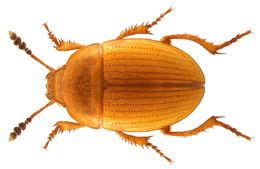 Image of <i>Leiodes rugosa</i>