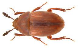 Image of <i>Leiodes polita</i> (Marsham 1802)