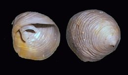 Image of false cup-and-saucer limpet