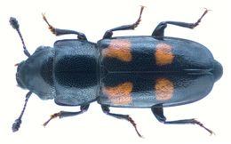 Image of European Bark Beetle Predator