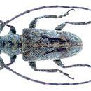 Image of <i>Cnemolia leonensis</i> Breuning 1935