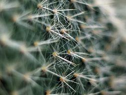 Image of <i>Opuntia pilifera</i> F. A. C. Weber