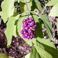 Image of American beautyberry