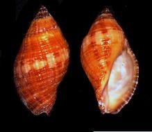 Image of <i>Turridrupa cerithina</i> (Anton 1838)