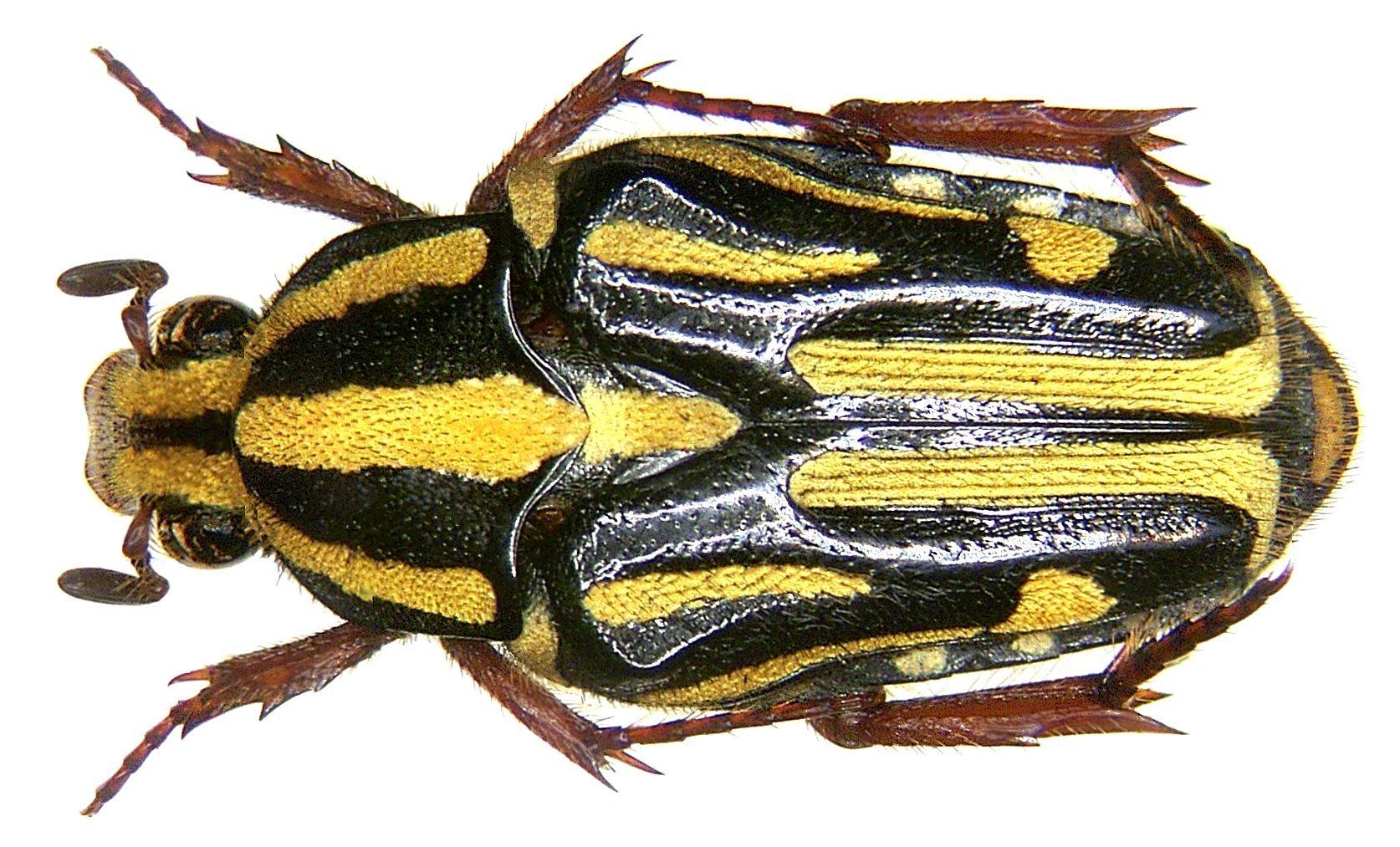 Image of <i>Ixorida</i> (<i>Mecinonota</i>) <i>regia</i> (Fabricius 1801)