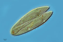 Image of slipper animalcule