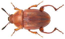 Image of <i>Leiodes cinnamomea</i>