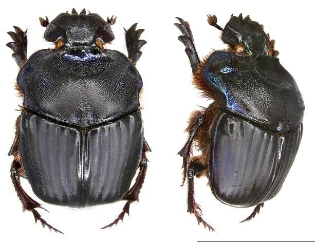 Image of <i>Coprophanaeus rigoutorum</i> Arnaud 2002