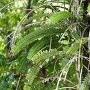 Image of Elongated Agrostophyllum