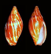 Image of <i>Mitra pica</i> (Dillwyn 1817)