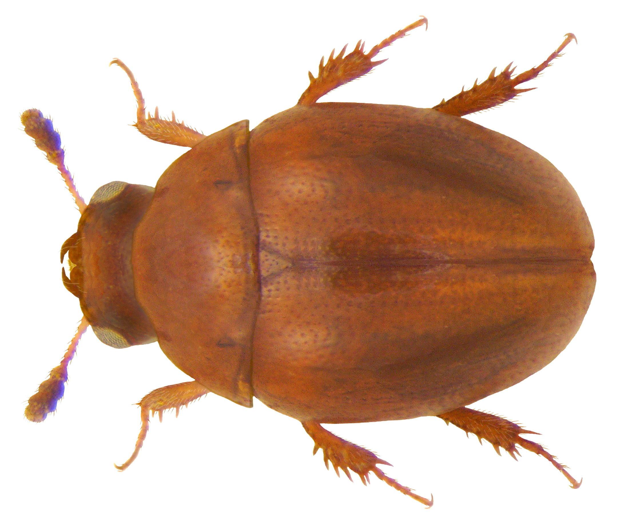 Image of <i>Liocyrtusa vittata</i> (Curtis 1840)