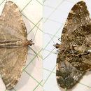 Image of <i>Ceratodalia gueneata</i> Packard 1876