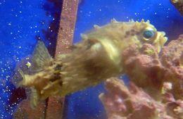Image of Bridled burrfish