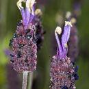 Image of <i>Lavandula pedunculata</i> (Mill.) Cav.