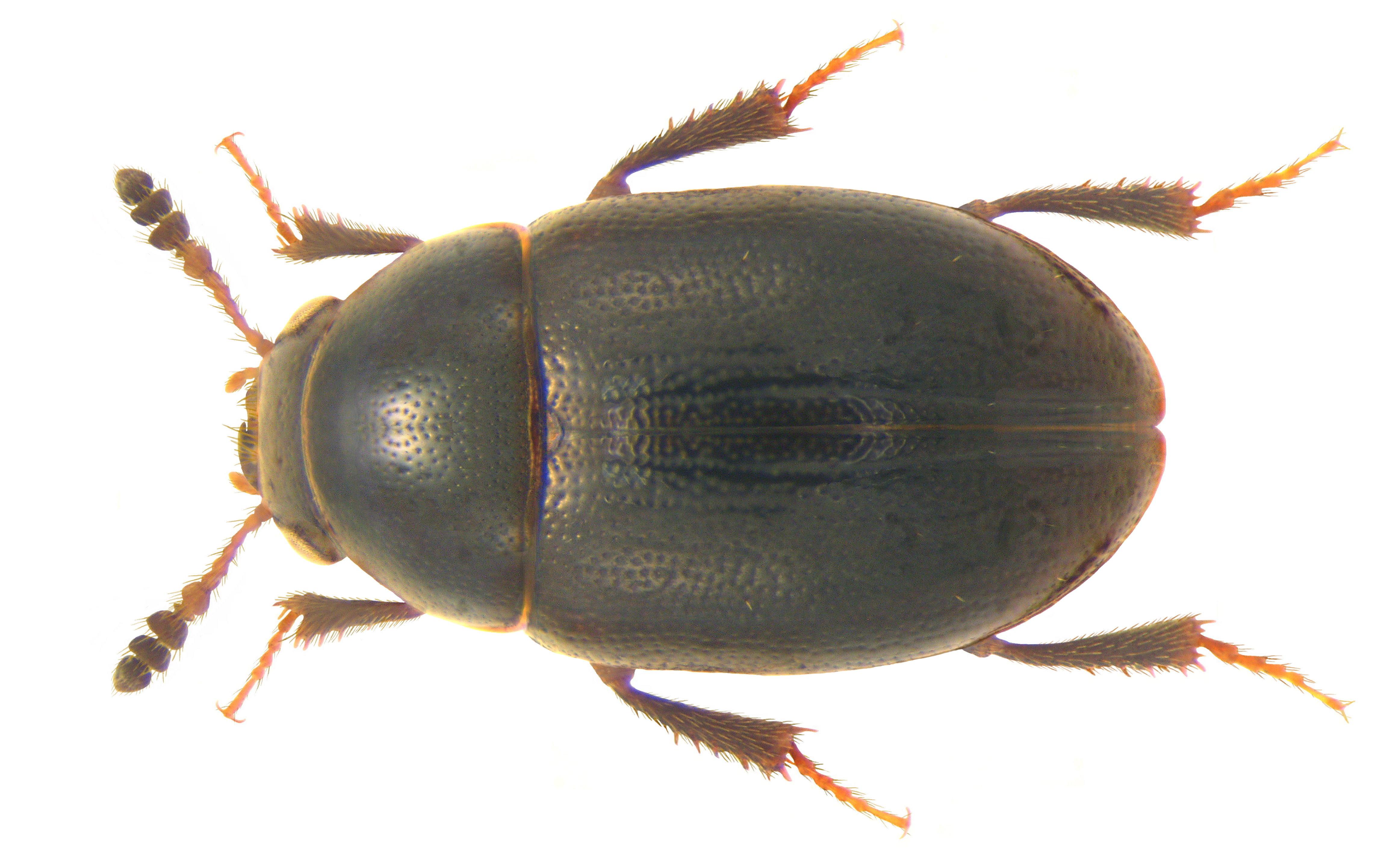 Image of <i>Hydnobius punctatus</i> (Sturm 1807)