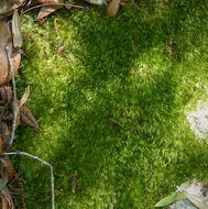 Image of condensed dicranum moss