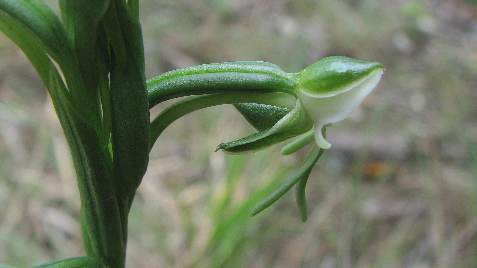 Image of Bog orchids