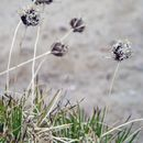 Image of <i>Borya sphaerocephala</i> R. Br.