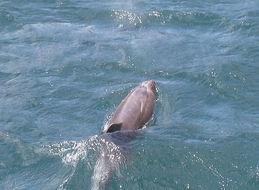 Image of Indian Ocean Bottlenose Dolphin