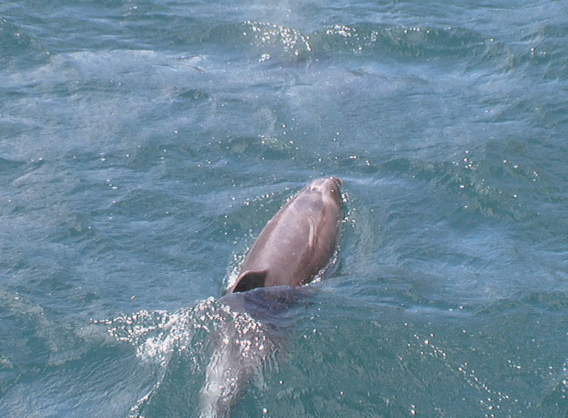 Image of Indian Ocean Bottlenose Dolphin