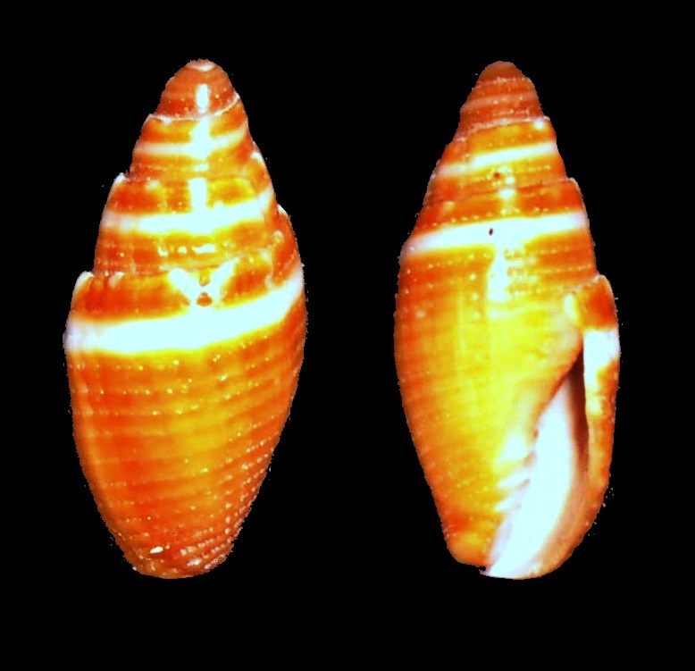 Image of <i>Mitra coronata</i> Lamarck 1811